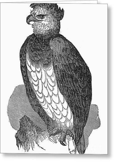 Harpy Eagle Greeting Card by Granger
