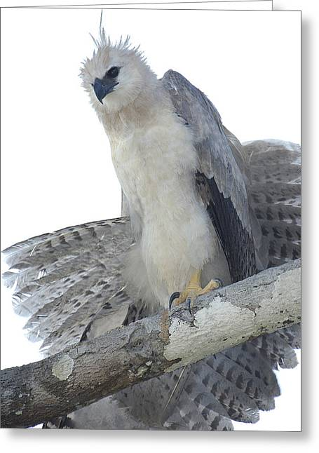 Harpy Eagle Harpia Harpyja Recently Greeting Card by Pete Oxford