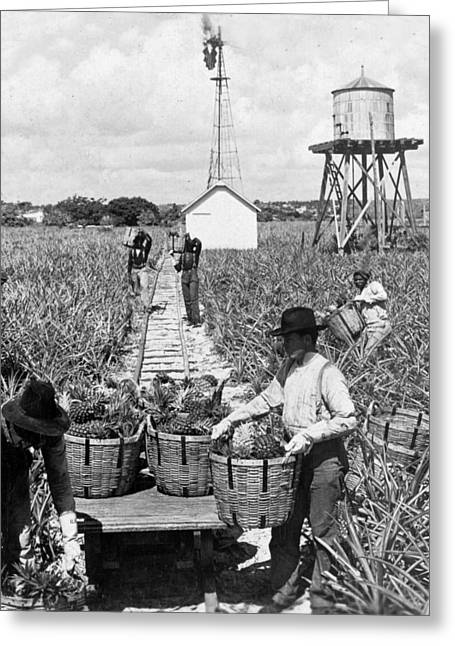 Harvesting Indian River Pineapples - C 1906 - Florida Greeting Card by International  Images