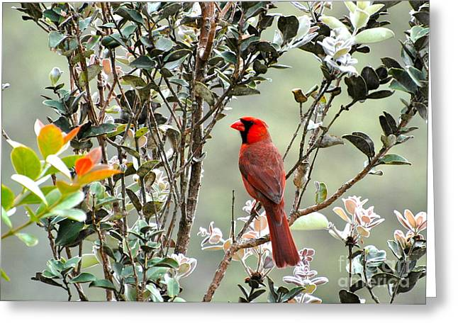 Hawaiian Cardinal  Greeting Card