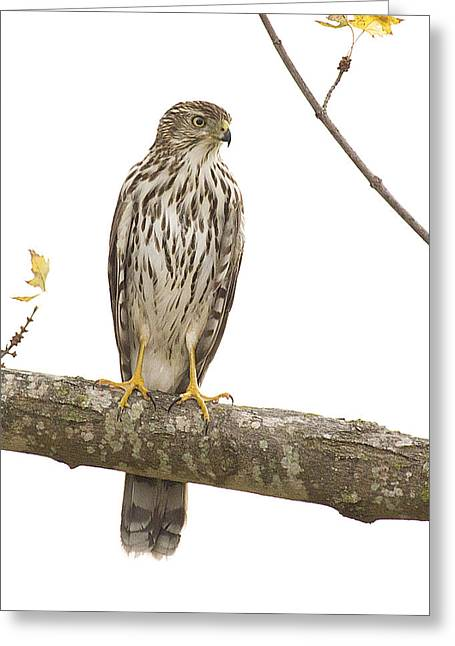 Hawk 4 Greeting Card