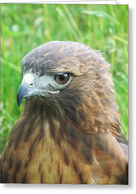 Hawk-eye Greeting Card by Todd Sherlock