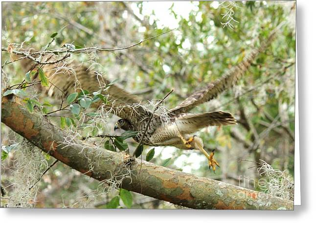 Hawk In Flight Greeting Card by Theresa Willingham