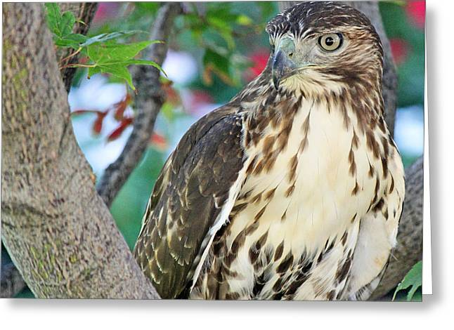 Hawk In Tree 3 Greeting Card by Becky Lodes
