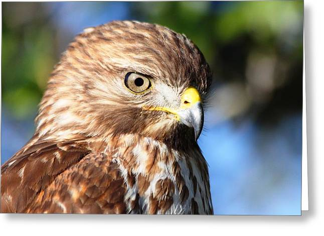 Greeting Card featuring the photograph Hawk In Viera Florida by Jeanne Andrews