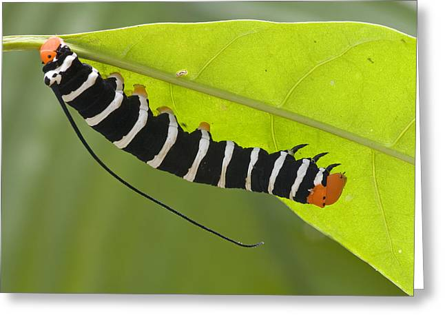 Hawk Moth Caterpillar Guyana Greeting Card by Piotr Naskrecki