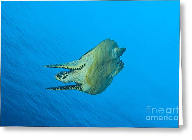 Hawksbill Turtle In The Diving Greeting Card
