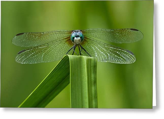 Head On Dragonfly Greeting Card