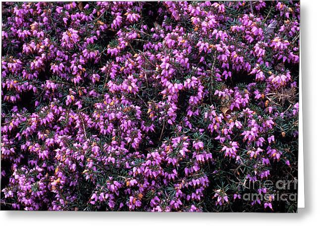 Heather 'gracilis' Flowers Greeting Card by Adrian Thomas