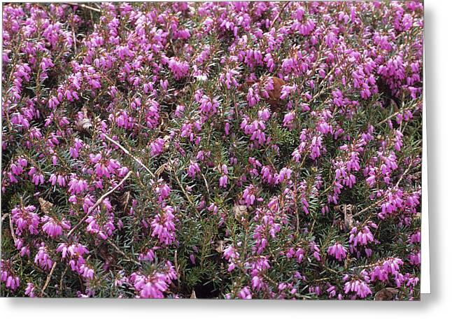 Heather 'john Kampa' Flowers Greeting Card by Adrian Thomas