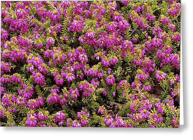Heather 'king George' Flowers Greeting Card by Adrian Thomas