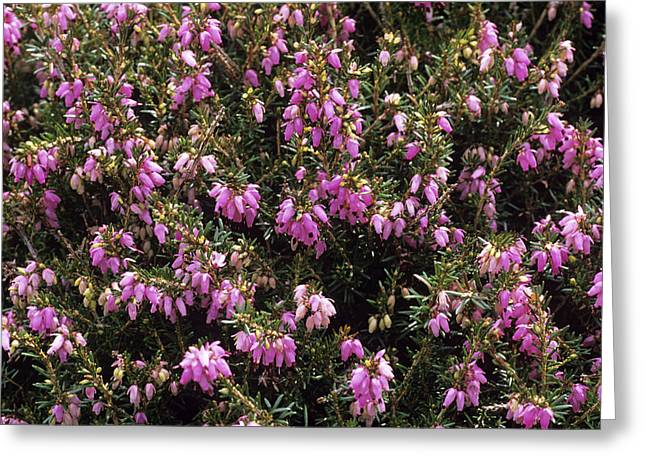 Heather 'polden Pride' Flowers Greeting Card by Adrian Thomas