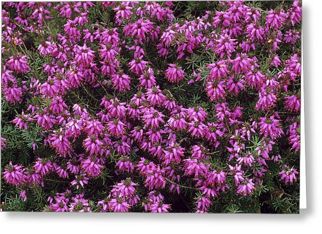 Heather 'rosalie' Flowers Greeting Card by Adrian Thomas