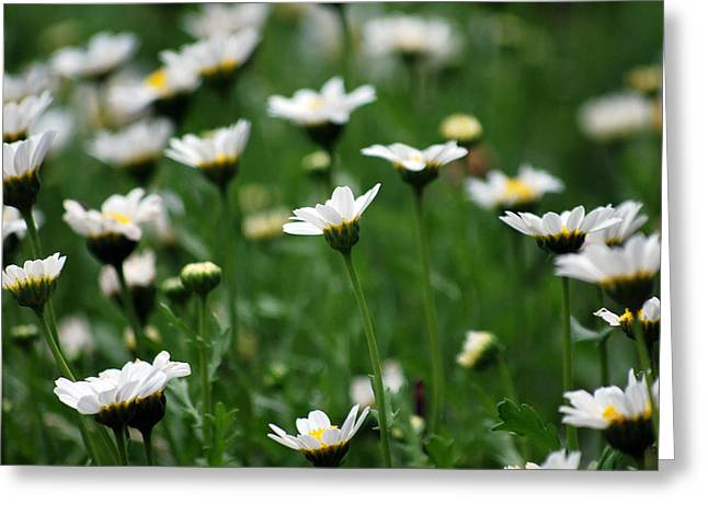 Greeting Card featuring the photograph Heavenly Daisies by Amee Cave