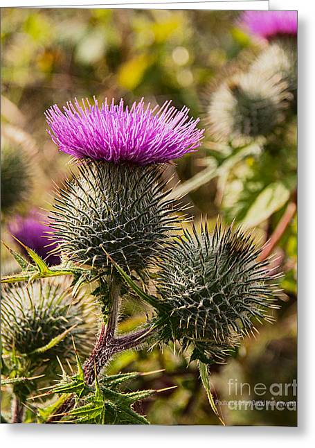 Hedgerow 2 Thistle Greeting Card