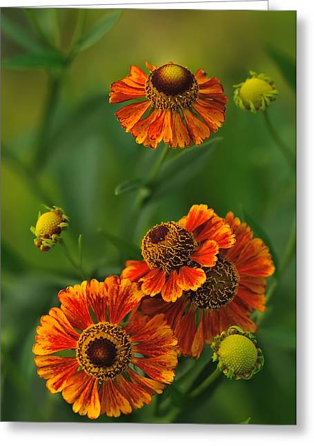 Helenium Greeting Card