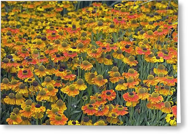 Helenium 'sahin's Early Flowerer' Greeting Card by Dr Keith Wheeler