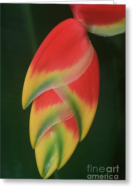 Heliconia Rostrata - Hanging Heliconia Greeting Card