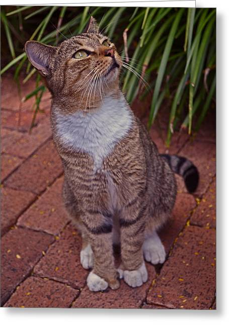Hemingway House 6 Toed Cat 01 Greeting Card