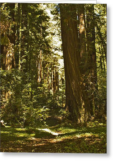 Henry Cowell Redwoods Late Summer Afternoon Greeting Card by Larry Darnell
