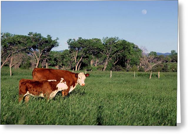 Hereford Cow And Calf Greeting Card