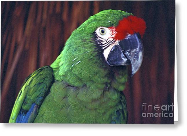Greeting Card featuring the photograph Here's Looking At You Military Macaw Riviera Maya Mexico by John  Mitchell