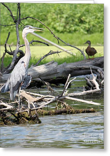 Greeting Card featuring the photograph Heron And Mallard by Debbie Hart