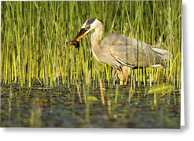 Heron's Snack Greeting Card