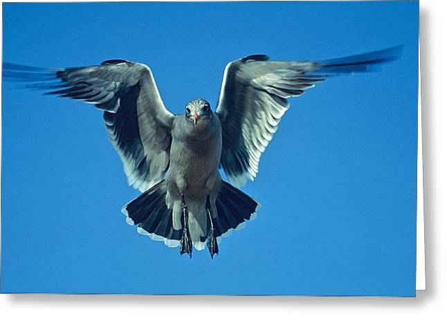Herring Gull In Hummingbird Mode Greeting Card