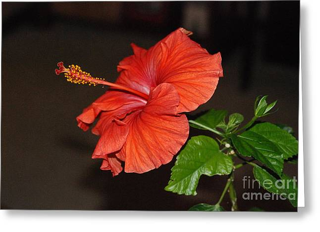 Greeting Card featuring the photograph Hibiscus Bloom by Mark McReynolds