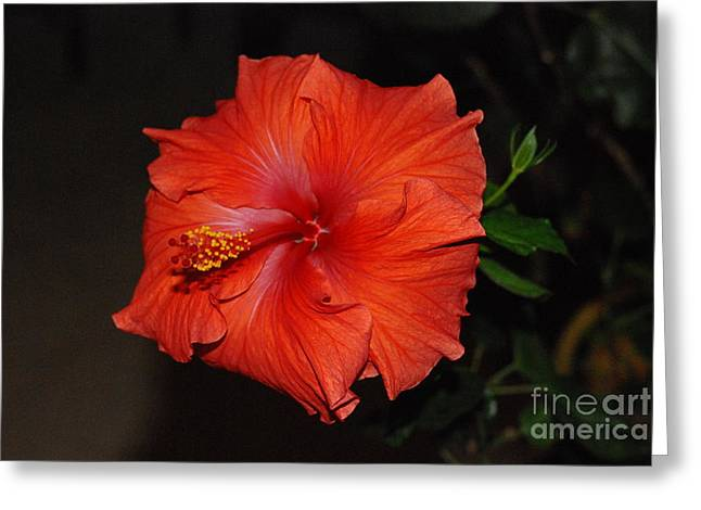 Greeting Card featuring the photograph Hibiscus Close Up by Mark McReynolds