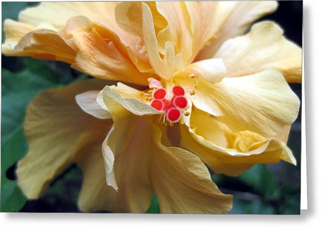 Hibiscus Dancer IIn Yellow Greeting Card