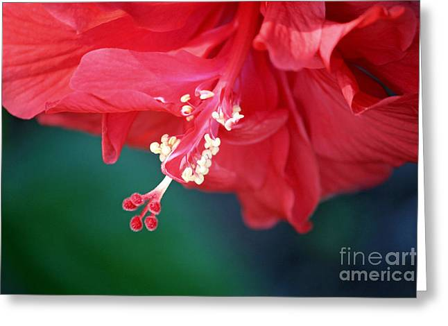 Hibiscus Dream Greeting Card by Carol Groenen