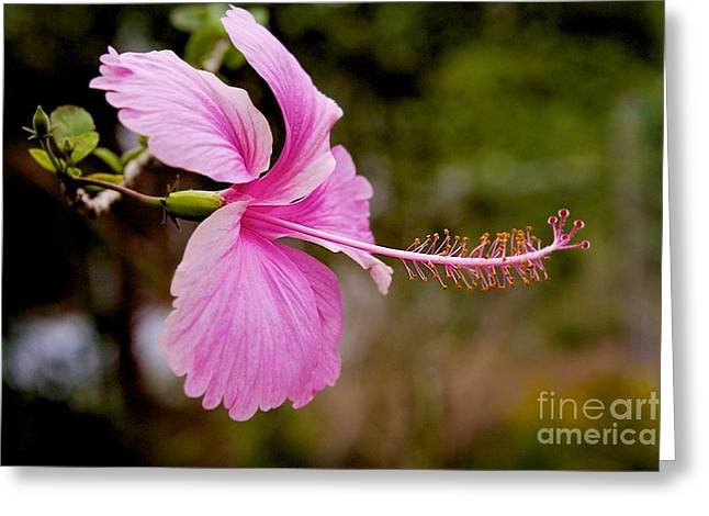 Greeting Card featuring the pyrography hibiscus flower of Borneo.  by Gary Bridger