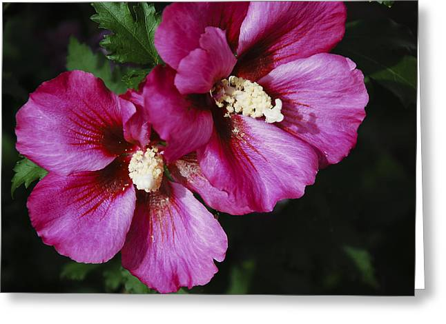 Hibiscus Flowers Greeting Card by Janice Adomeit