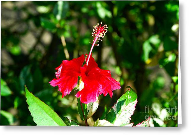 Greeting Card featuring the photograph Hibiscus by Pravine Chester