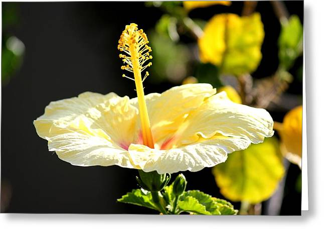 Hibiscus Rising Greeting Card