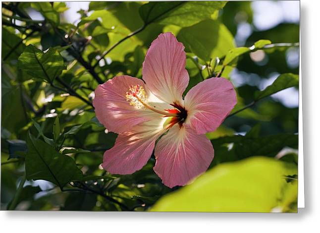 Hibiscus Rosa-sinensis Greeting Card by Dr Keith Wheeler