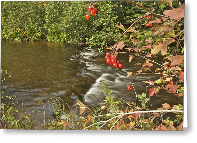 High Bush Cranberry 7823 Greeting Card by Michael Peychich