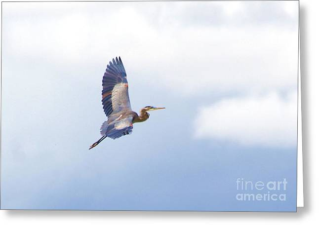 High Flying Blue Heron  Greeting Card by John  Kolenberg