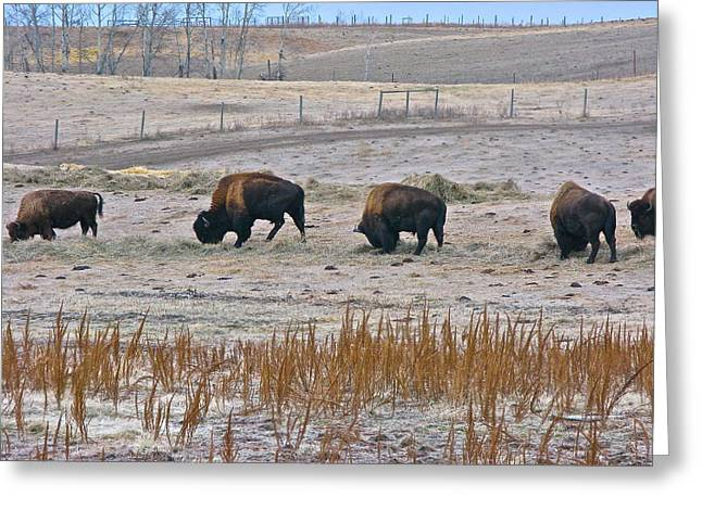 Greeting Card featuring the photograph High Plains Buffalo by Brian Sereda
