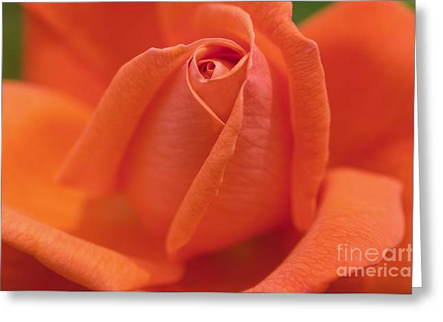High Sheriff Rose Greeting Card by Image It Foto