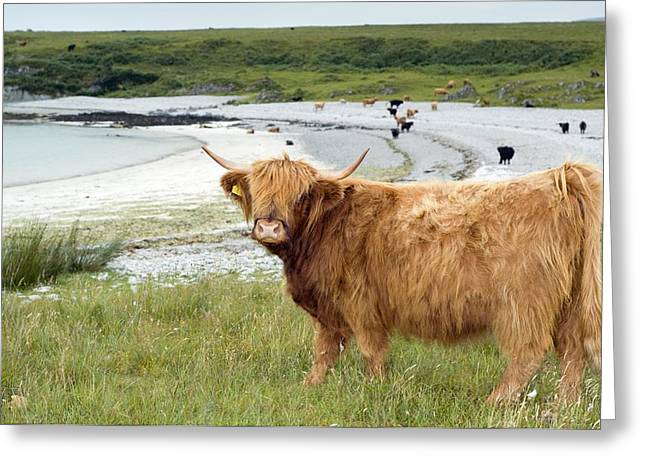 Highland Cattle By The Sea Greeting Card