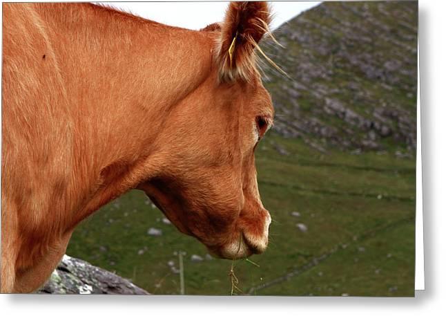 Highland Grazer Greeting Card