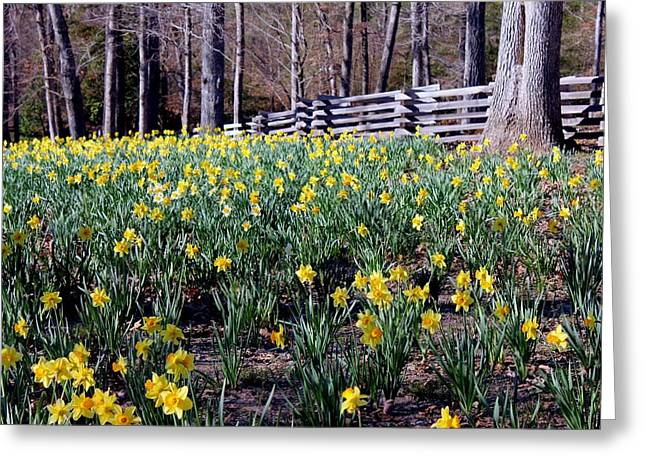Hills Of Daffodils Greeting Card by Betty Northcutt