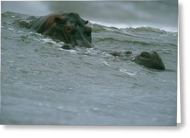 Hippopotamuses Riding A Wave Greeting Card by Michael Nichols