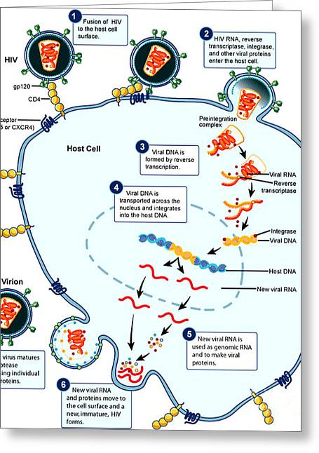 Hiv Virus Replication Cycle Greeting Card by Science Source