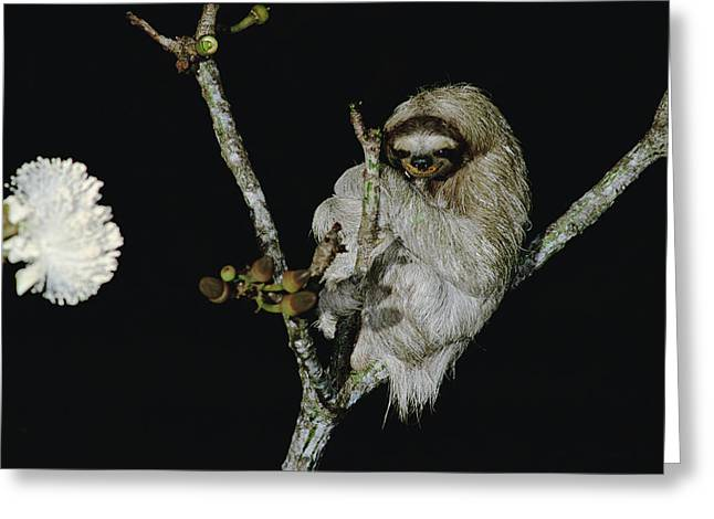 Hoffmanns Two-toed Sloth Choloepus Greeting Card by Mark Moffett