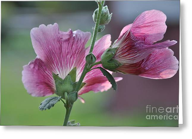 Hollyhocks Greeting Card by Tamera James