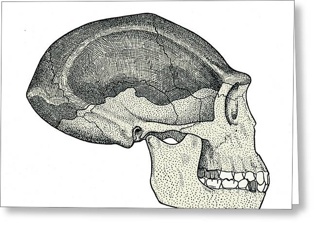 Homo Erectus Skull Greeting Card by Sheila Terry